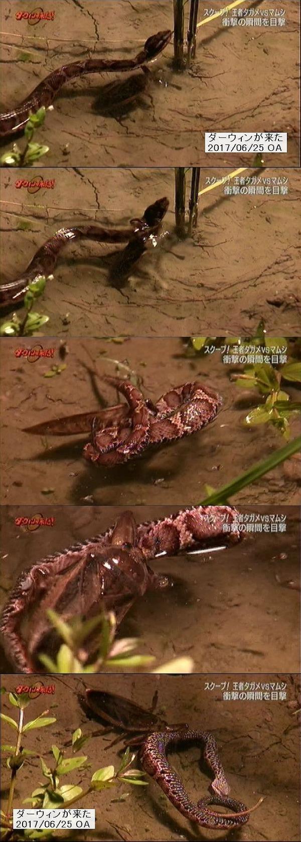 マムシを狩るタガメ。はじめて撮影したNHK「ダーウィンが来た」