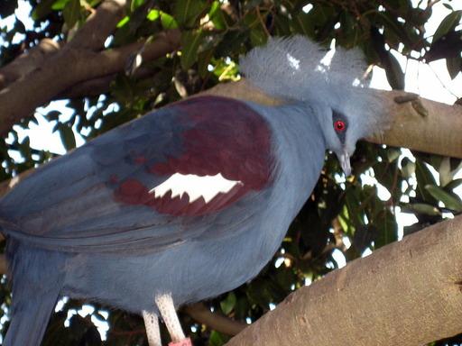 1280px-Blue_Crowned_Pigeon