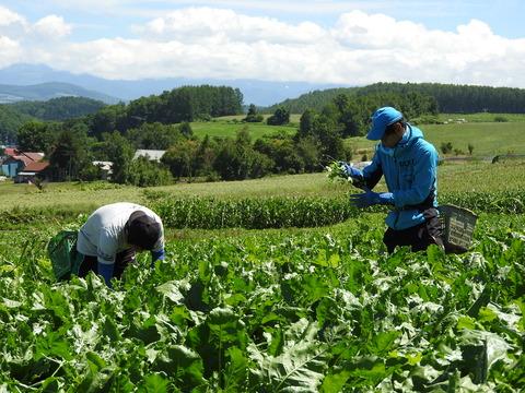 ビート畑の草取り作業をする土崎先生