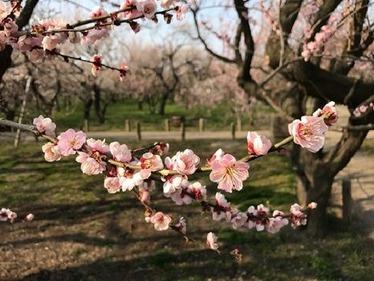 偕楽園桜2