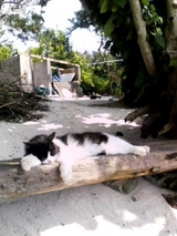 竹富島の海辺猫