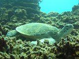 20080616アオウミガメ