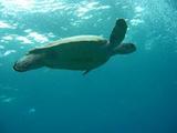20080122アオウミガメ