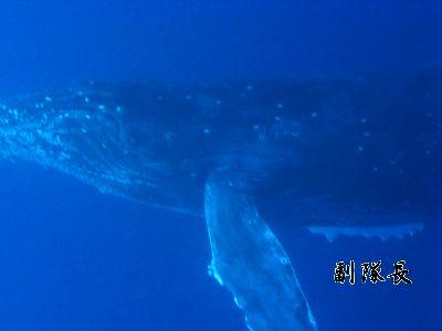 ザトウクジラ_20090101(J・BOY用)