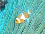 20080216カクレクマノミ
