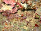 イロブダイ幼魚2070701