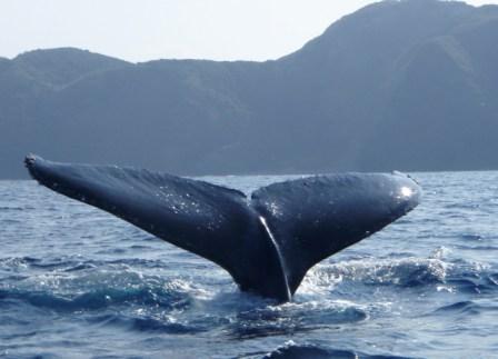 20080317ザトウクジラ