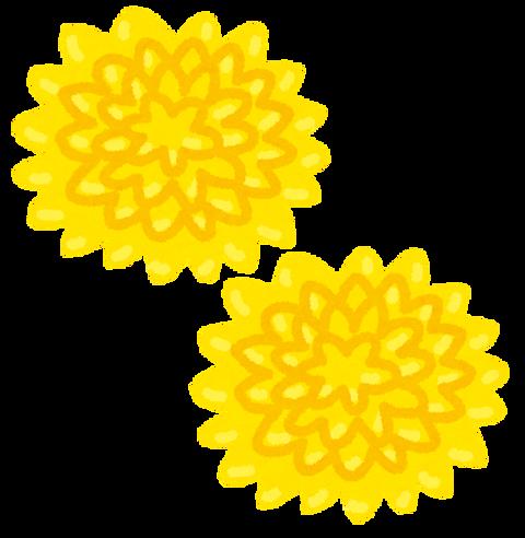食用菊(黄色)