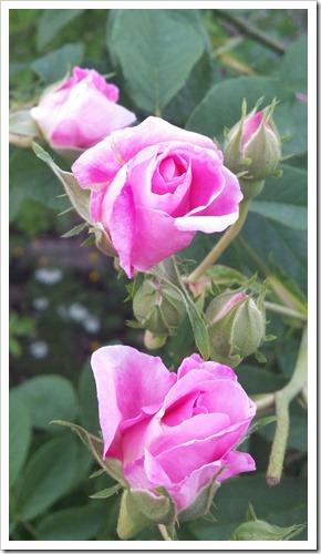 20140602-カーブドッチの花(2014年5月31日)-10