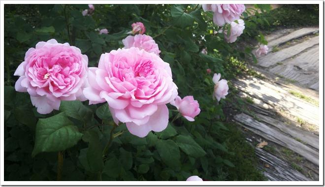 20140602-カーブドッチの花(2014年5月31日)-22