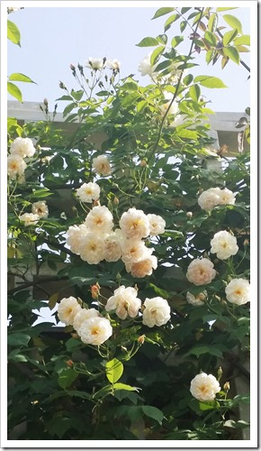 20140602-カーブドッチの花(2014年5月31日)-07
