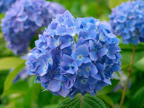 20130702-2011-06-護摩堂山紫陽花-01