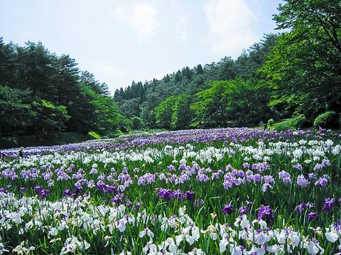 20130630-新発田市五十公野公園あやめ園-00
