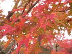 京都便利屋が撮影した仁和寺の紅葉2