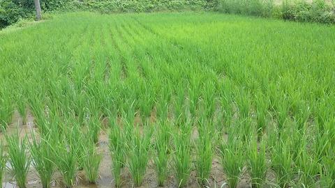稲生育状況