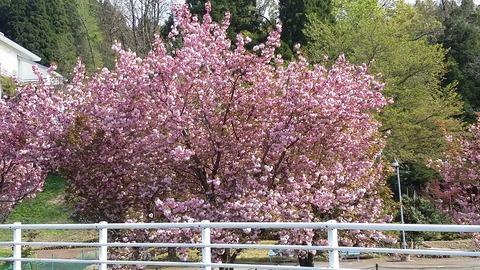 桜シーズン続く