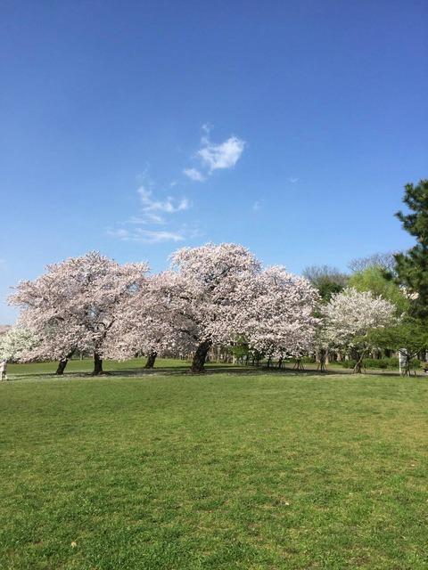 桜便り 関東