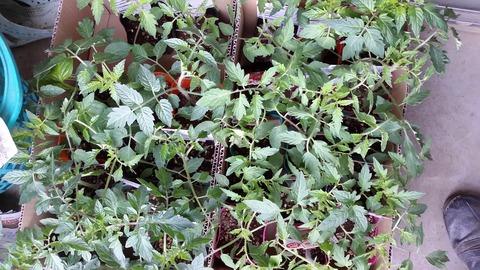 野菜の苗も