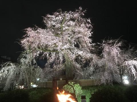 サクラ各地の様子 京都