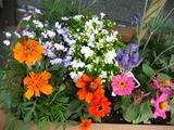5月の花壇の花2
