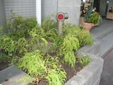 新植栽左側フィリフェラオーレア