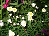 3月の花壇のはなかんざし