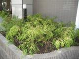 新植栽玄関右側フィリフェラオーレア