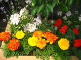 6月花壇の花1