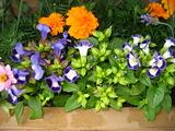 5月の花壇のトレニア