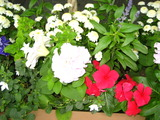 6月の花壇の花1