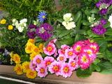 2月の花壇の花1