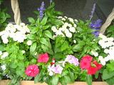 6月の花壇の花2