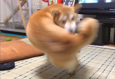 【画像】柴犬、強烈な右フックを放つ
