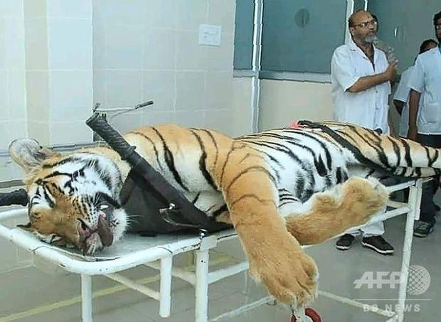 【インド】13人殺害の「人食いトラ」の射殺の駆除の手法をめぐり批判