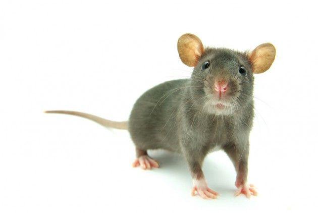 ネズミの地球侵略が始まった―― 科学者らが警告