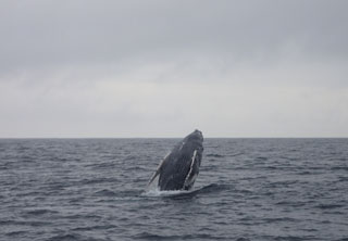 ザトウクジラ1