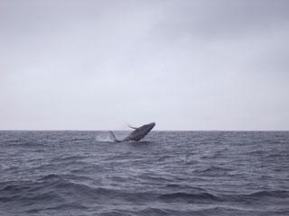 ザトウクジラ2