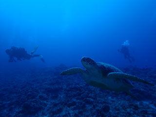 アオウミガメとダイバー