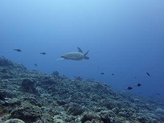 アオウミガメ�