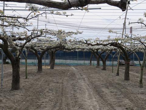 4/16 梨のお花の下 de コンサート!