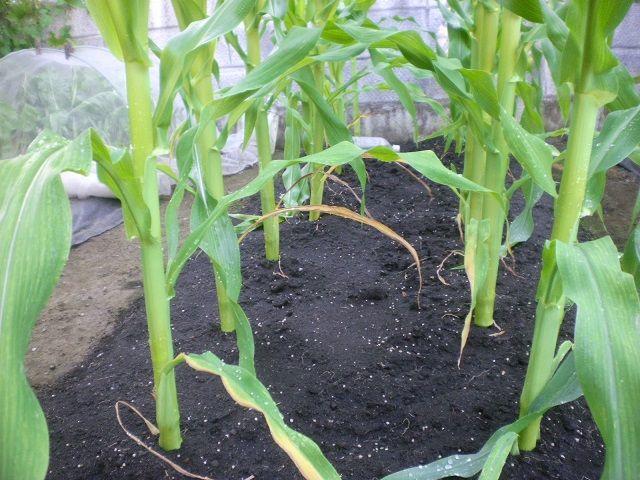 トウモロコシ 追肥