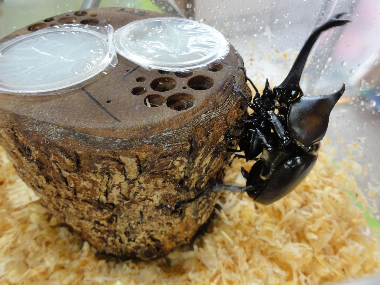 カブトムシ 交尾 寿命