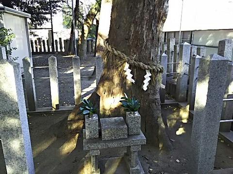 忠岡神社 神木「みいさん」
