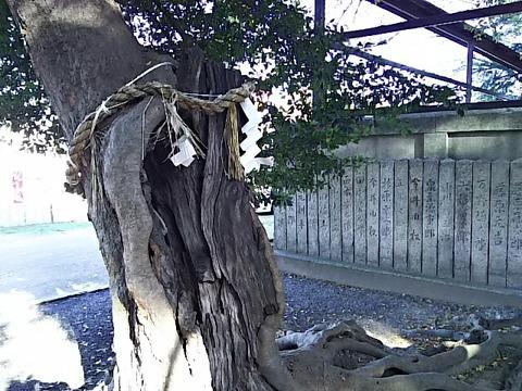 忠岡神社 神木「おふくさん」