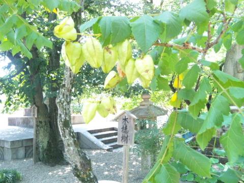 道明寺の木槵樹