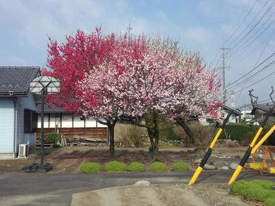 19桜2012