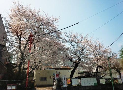 31 大須桜2015 2