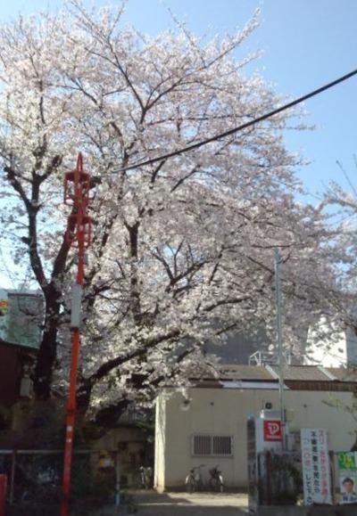 30大須桜2