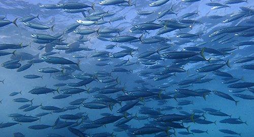 釣り客 観光客 八丈島 ムロアジに関連した画像-01