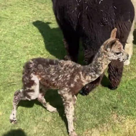 アルパカ 赤ちゃん 姿 ゾンビ ミイラ 驚愕に関連した画像-05